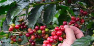 quotazione caffè
